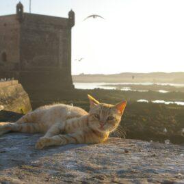 Chats de Maroc − モロッコの猫たち